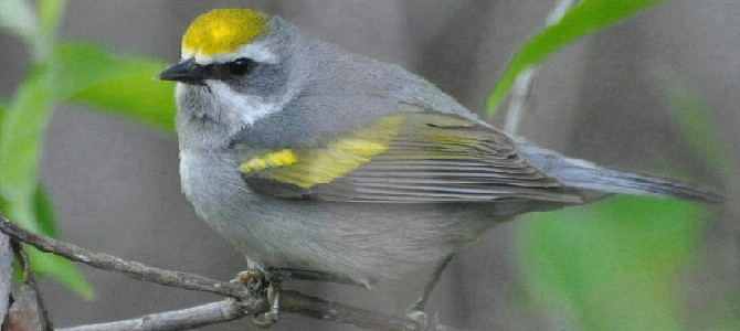Featured Species:  Golden-winged Warbler