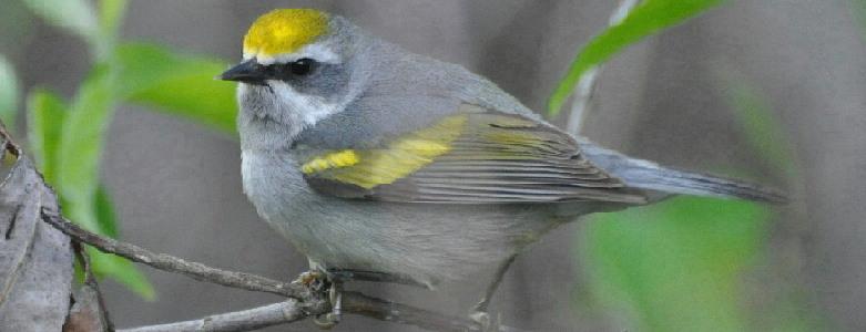 Featured Species:  Golden-winged Warbler