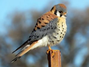 October 2019  Presentation: American Kestrels and Ecosystem Services in Michigan's Fruit-Growing Regions @ People's Church